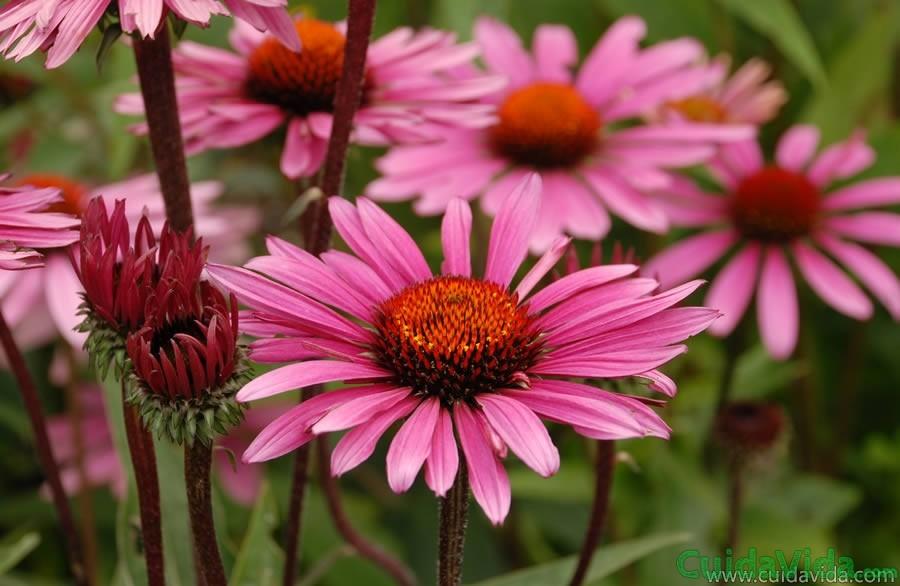 La echinacea es un medicamento natural contra el resfriado