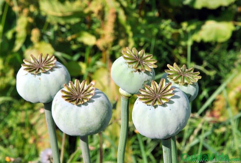 El opio se extrae de las cápsulas verdes de la adormidera