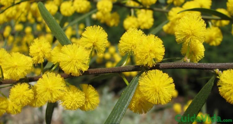 Usos medicinales de la acacia y qué es